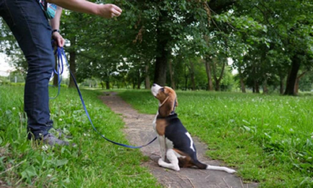 Cómo Enséñarle A Tu Perro A Sentarse Kirroyal